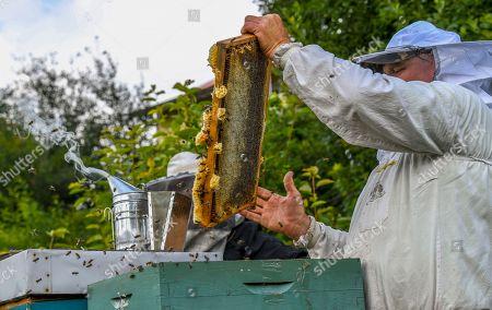 Beekeeper Goce Cakarov pulls out a frame full of honey and cleans it of bees during this year's first honey extraction from beehives situated next to the mountaineer?s home Karadzica (altitude of 1450m) on the mountain Jakupica, 45km south of Skopje, Republic of North Macedonia, 25 July 2019. Goce Cakarov manages the mountaineer home Karadzice and also keeps more than 50 beehives. Because of the high altitude, distance from any industrial or residential area (more than 40km) the honey that the bees produce belong to the category of high quality organic honey, even though it doesn?t have the certificate for organic products. According to him, a Macedonian family that has 100 beehives can produce around 1500kg of honey yearly. The high quality mountain-meadow honey is being sold for a minimal price of 8.5 euro per 0.7 litter jar, which means that the annual earnings are higher than 12,000 euro, or 20 percent higher than the average annual income of a Macedonian household. Beekeeping in North Macedonia is a rising business and is becoming an important part of modern lifestyle. A large number of young people are deciding to get into beekeeping, as stated by the president of the North Macedonian 'Beekeeping Federation' Jane Markov. According to the Ministry of Agriculture, in North Macedonia there are more than 7,000 families that work with beekeeping. The estimate of the Ministry is that in the country there were more than 240,000 beehives at the end of 2018. Depending on the weather conditions, one beehive produces from 18 up to 35 kg of honey. According to their data in 1992, North Macedonia produced more than 1,600 tons of honey. Due to the climate changes, weather conditions and the high increase in the use of pesticides, the honey production has sharply decreased. The estimate is that in 2018 the honey productin was around 400 tons.