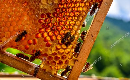Stock Picture of Bees crawl over a sake full of honey during this year's first honey extraction from beehives situated next to the mountaineer?s home Karadzica (altitude of 1450m) on the mountain Jakupica, 45km south of Skopje, Republic of North Macedonia, 25 July 2019. Goce Cakarov manages the mountaineer home Karadzice and also keeps more than 50 beehives. Because of the high altitude, distance from any industrial or residential area (more than 40km) the honey that the bees produce belong to the category of high quality organic honey, even though it doesn?t have the certificate for organic products. According to him, a Macedonian family that has 100 beehives can produce around 1500kg of honey yearly. The high quality mountain-meadow honey is being sold for a minimal price of 8.5 euro per 0.7 litter jar, which means that the annual earnings are higher than 12,000 euro, or 20 percent higher than the average annual income of a Macedonian household. Beekeeping in North Macedonia is a rising business and is becoming an important part of modern lifestyle. A large number of young people are deciding to get into beekeeping, as stated by the president of the North Macedonian 'Beekeeping Federation' Jane Markov. According to the Ministry of Agriculture, in North Macedonia there are more than 7,000 families that work with beekeeping. The estimate of the Ministry is that in the country there were more than 240,000 beehives at the end of 2018. Depending on the weather conditions, one beehive produces from 18 up to 35 kg of honey. According to their data in 1992, North Macedonia produced more than 1,600 tons of honey. Due to the climate changes, weather conditions and the high increase in the use of pesticides, the honey production has sharply decreased. The estimate is that in 2018 the honey productin was around 400 tons.