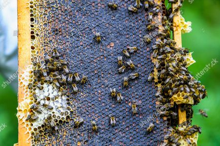 Editorial picture of Production of honey on the mountain Jakupica near Skopje, Macedonia, The Former Yugoslav Republic Of Macedonia On - 25 Jul 2019