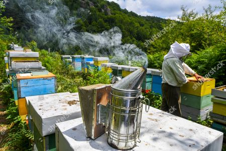 Beekeeper Goce Cakarov smokes the bees with smoke from rotten wood pieces that calms the bees during this year's first honey extraction from beehives situated next to the mountaineer?s home Karadzica (altitude of 1450m) on the mountain Jakupica, 45km south of Skopje, Republic of North Macedonia, 25 July 2019. Goce Cakarov manages the mountaineer home Karadzice and also keeps more than 50 beehives. Because of the high altitude, distance from any industrial or residential area (more than 40km) the honey that the bees produce belong to the category of high quality organic honey, even though it doesn?t have the certificate for organic products. According to him, a Macedonian family that has 100 beehives can produce around 1500kg of honey yearly. The high quality mountain-meadow honey is being sold for a minimal price of 8.5 euro per 0.7 litter jar, which means that the annual earnings are higher than 12,000 euro, or 20 percent higher than the average annual income of a Macedonian household. Beekeeping in North Macedonia is a rising business and is becoming an important part of modern lifestyle. A large number of young people are deciding to get into beekeeping, as stated by the president of the North Macedonian 'Beekeeping Federation' Jane Markov. According to the Ministry of Agriculture, in North Macedonia there are more than 7,000 families that work with beekeeping. The estimate of the Ministry is that in the country there were more than 240,000 beehives at the end of 2018. Depending on the weather conditions, one beehive produces from 18 up to 35 kg of honey. According to their data in 1992, North Macedonia produced more than 1,600 tons of honey. Due to the climate changes, weather conditions and the high increase in the use of pesticides, the honey production has sharply decreased. The estimate is that in 2018 the honey productin was around 400 tons.