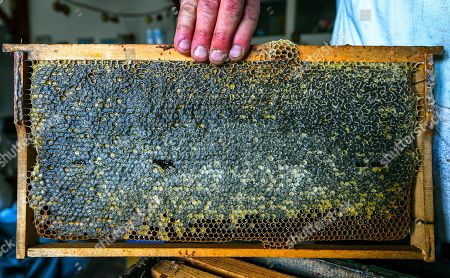 A helper holds an closed frame with honey ready for removing the wax during this year's first honey extraction from beehives situated next to the mountaineer?s home Karadzica (altitude of 1450m) on the mountain Jakupica, 45km south of Skopje, Republic of North Macedonia, 25 July 2019. Goce Cakarov manages the mountaineer home Karadzice and also keeps more than 50 beehives. Because of the high altitude, distance from any industrial or residential area (more than 40km) the honey that the bees produce belong to the category of high quality organic honey, even though it doesn?t have the certificate for organic products. According to him, a Macedonian family that has 100 beehives can produce around 1500kg of honey yearly. The high quality mountain-meadow honey is being sold for a minimal price of 8.5 euro per 0.7 litter jar, which means that the annual earnings are higher than 12,000 euro, or 20 percent higher than the average annual income of a Macedonian household. Beekeeping in North Macedonia is a rising business and is becoming an important part of modern lifestyle. A large number of young people are deciding to get into beekeeping, as stated by the president of the North Macedonian 'Beekeeping Federation' Jane Markov. According to the Ministry of Agriculture, in North Macedonia there are more than 7,000 families that work with beekeeping. The estimate of the Ministry is that in the country there were more than 240,000 beehives at the end of 2018. Depending on the weather conditions, one beehive produces from 18 up to 35 kg of honey. According to their data in 1992, North Macedonia produced more than 1,600 tons of honey. Due to the climate changes, weather conditions and the high increase in the use of pesticides, the honey production has sharply decreased. The estimate is that in 2018 the honey productin was around 400 tons.