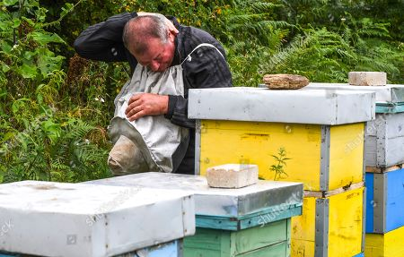 A helper of beekeeper Goce Cakarov reacts to stings from the bees during this year's first honey extraction from beehives situated next to the mountaineer?s home Karadzica (altitude of 1450m) on the mountain Jakupica, 45km south of Skopje, Republic of North Macedonia, 25 July 2019. Goce Cakarov manages the mountaineer home Karadzice and also keeps more than 50 beehives. Because of the high altitude, distance from any industrial or residential area (more than 40km) the honey that the bees produce belong to the category of high quality organic honey, even though it doesn?t have the certificate for organic products. According to him, a Macedonian family that has 100 beehives can produce around 1500kg of honey yearly. The high quality mountain-meadow honey is being sold for a minimal price of 8.5 euro per 0.7 litter jar, which means that the annual earnings are higher than 12,000 euro, or 20 percent higher than the average annual income of a Macedonian household. Beekeeping in North Macedonia is a rising business and is becoming an important part of modern lifestyle. A large number of young people are deciding to get into beekeeping, as stated by the president of the North Macedonian 'Beekeeping Federation' Jane Markov. According to the Ministry of Agriculture, in North Macedonia there are more than 7,000 families that work with beekeeping. The estimate of the Ministry is that in the country there were more than 240,000 beehives at the end of 2018. Depending on the weather conditions, one beehive produces from 18 up to 35 kg of honey. According to their data in 1992, North Macedonia produced more than 1,600 tons of honey. Due to the climate changes, weather conditions and the high increase in the use of pesticides, the honey production has sharply decreased. The estimate is that in 2018 the honey productin was around 400 tons.