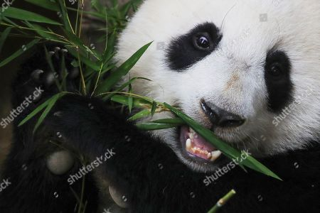 Yi Yi, the second female baby panda born in Malaysia, reacts during the Second Giant Panda Cub Naming Ceremony at the National Zoo in Kuala Lumpur, Malaysia, 01 August 2019. 'Yi Yi (meaning 'friendship' in Chinese) was selected to recognise the friendship between the two nations of Malaysia and China, which has grown beyond four decades', Water, Land and Natural Resources Minister Dr A. Xavier Jayakumar said on 01 August. Liang Liang, a female giant panda, gave birth to her second baby, Yi Yi on 14 January 2018. The baby panda was born 89 days after its parents Xing Xing and Liang Liang mated. Xing Xing and Liang Liang were loaned to Malaysia for 10 years to mark the 40th anniversary of diplomatic ties between Malaysia and China since they were initiated by Malaysia's second Prime Minister, the late Abdul Razak Hussein in 1974.