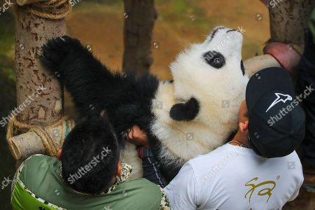 Zoo officials hold Yi Yi, the second female baby panda born in Malaysia, during the Second Giant Panda Cub Naming Ceremony at the National Zoo in Kuala Lumpur, Malaysia, 01 August 2019. 'Yi Yi (meaning 'friendship' in Chinese) was selected to recognise the friendship between the two nations of Malaysia and China, which has grown beyond four decades', Water, Land and Natural Resources Minister Dr A. Xavier Jayakumar said on 01 August. Liang Liang, a female giant panda, gave birth to her second baby, Yi Yi on 14 January 2018. The baby panda was born 89 days after its parents Xing Xing and Liang Liang mated. Xing Xing and Liang Liang were loaned to Malaysia for 10 years to mark the 40th anniversary of diplomatic ties between Malaysia and China since they were initiated by Malaysia's second Prime Minister, the late Abdul Razak Hussein in 1974.