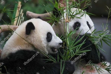 Yi Yi (L), the second female baby panda born in Malaysia, and her mother Liang Liang (R) react during the Second Giant Panda Cub Naming Ceremony at the National Zoo in Kuala Lumpur, Malaysia, 01 August 2019. 'Yi Yi (meaning 'friendship' in Chinese) was selected to recognise the friendship between the two nations of Malaysia and China, which has grown beyond four decades', Water, Land and Natural Resources Minister Dr A. Xavier Jayakumar said on 01 August. Liang Liang, a female giant panda, gave birth to her second baby, Yi Yi on 14 January 2018. The baby panda was born 89 days after its parents Xing Xing and Liang Liang mated. Xing Xing and Liang Liang were loaned to Malaysia for 10 years to mark the 40th anniversary of diplomatic ties between Malaysia and China since they were initiated by Malaysia's second Prime Minister, the late Abdul Razak Hussein in 1974.