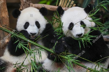 Stock Picture of Yi Yi (L), the second female baby panda born in Malaysia, and her mother Liang Liang (R) react during the Second Giant Panda Cub Naming Ceremony at the National Zoo in Kuala Lumpur, Malaysia, 01 August 2019. 'Yi Yi (meaning 'friendship' in Chinese) was selected to recognise the friendship between the two nations of Malaysia and China, which has grown beyond four decades', Water, Land and Natural Resources Minister Dr A. Xavier Jayakumar said on 01 August. Liang Liang, a female giant panda, gave birth to her second baby, Yi Yi on 14 January 2018. The baby panda was born 89 days after its parents Xing Xing and Liang Liang mated. Xing Xing and Liang Liang were loaned to Malaysia for 10 years to mark the 40th anniversary of diplomatic ties between Malaysia and China since they were initiated by Malaysia's second Prime Minister, the late Abdul Razak Hussein in 1974.