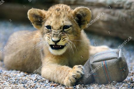 Barbary Lions cub at Liberec Zoo