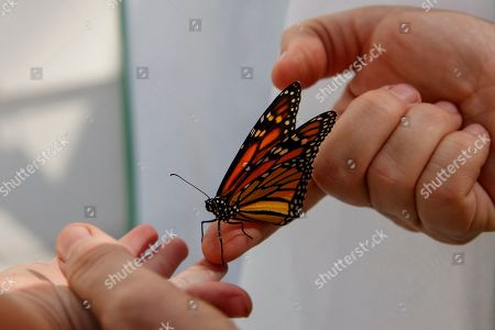 Stock Image of Laura Moore, Thomas Powell. Laura Moore directs a fresh new monarch butterfly from her finger to her 3-year-old neighbor Thomas Powell in her Greenbelt, Md., yard, . Despite efforts by Moore and countless other volunteers and organizations across the United States to grow milkweed, nurture caterpillars, and tag and count monarchs on the insects' annual migrations up and down America, the butterfly is in trouble