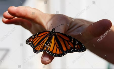 Stock Picture of Laura Moore displays a newly emerged monarch butterfly on her finger in her Greenbelt, Md., yard, . Despite efforts by Moore and countless other volunteers and organizations across the United States to grow milkweed, nurture caterpillars, and tag and count monarchs on the insects' annual migrations up and down America, the butterfly is in trouble