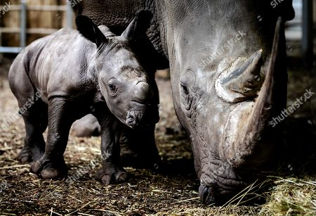 A newborn, five-days old rhino with ist mother in their enclosure at the Burgers Zoo in Arnhem, The Netherlands, 19 August 219. It is the tenth broad-lipped rhino from the breeding program of the Arnhem zoo.