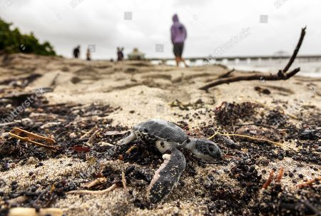 A dead sea turtle hatchling is seen in the sands of Juno Beach, Florida, USA, 02 September 2019. Hurricane Dorian, which made landfall on the Bahamas as category 5, caused 'unprecedented' devastation, according to Prime Minister Hubert Minnis. It is now downgraded to category 4 on route to pass to the east of Florida in the upcoming days.