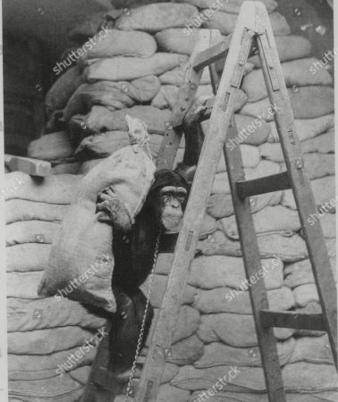 WWII: Britain: London Scenes. picture shows: A chimpanzee at London Zoo during World War II. (NO DATE).(Copied from book London at War by Sinclair-Stevenson, COPYRIGHT: Philip Ziegler)