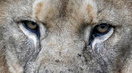Stock Photo of The eye of a asiatic lion (Panthera leo persica) in his enclosure at zoo in Heidelberg, Germany, 27 September 2019.