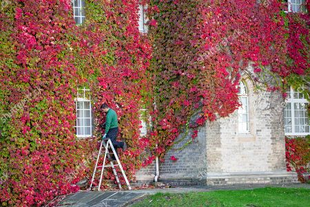 Gardener David Brown trimming the largest wall of Boston Ivy in the UK at St John's College Cambridge on Wednesday afternoon.
