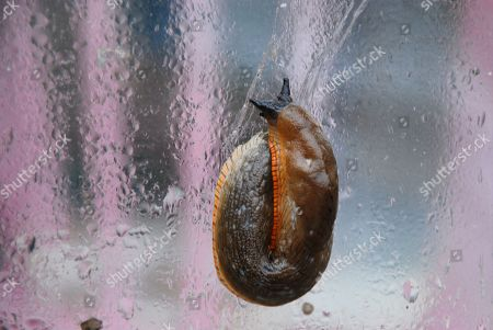 Stock Image of A Euoropean black slug (Arion Ater ) slithers around on a rain-spattered window in Fortuneswell