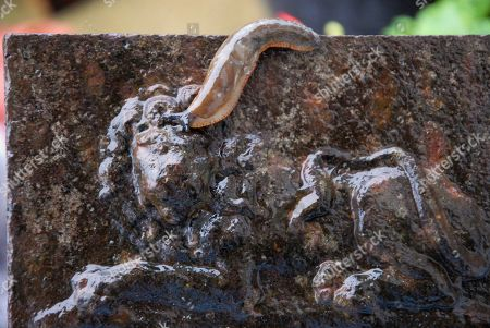 Stock Picture of A European black slug (Arion Ater) appears to goad the UK 'Imperial Lion' on a rain-soaked gatepost in Fortuneswell