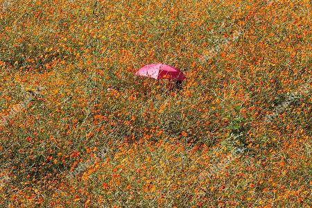 A woman walks through a field of cosmos flowers at the Olympic Park in Seoul, South Korea