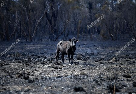 A cow stands in a burnt out field in Rappville, NSW, Australia, 10 October 2019. Several properties were lost when an out-of-control bushfire swept through the northern NSW village