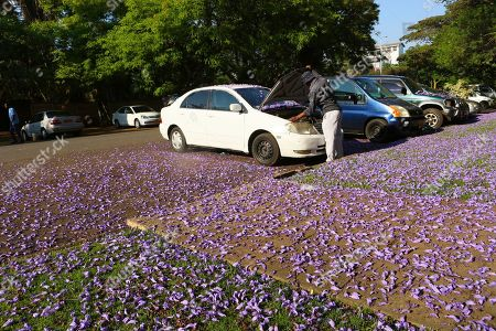 Stock Image of A man attends to his car on a street covered with jacaranda petals in the capital Harare, Zimbabwe, Friday, Oct, 11, 2019. Zimbabwe now has the world's second highest inflation after Venezuela, according to International Monetary Fund figures. The economy has been on a downward spiral for more than a year as hopes fade that Mugabe's successor and former deputy, President Emmerson Mnangagwa, will deliver on his promises of prosperity