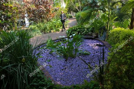 A man walks past a pond covered in jacaranda petals at a local hotel in the capital Harare, Zimbabwe, Friday, Oct, 11, 2019. Zimbabwe now has the world's second highest inflation after Venezuela, according to International Monetary Fund figures. The economy has been on a downward spiral for more than a year as hopes fade that Mugabe's successor and former deputy, President Emmerson Mnangagwa, will deliver on his promises of prosperity