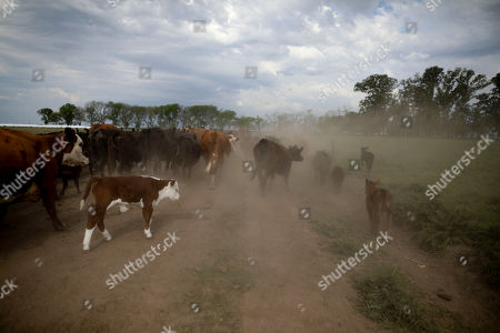 Stock Image of This photo shows cattle belonging to farmer Sebastian Campo on the outskirts of Pergamino, Argentina. Export restrictions imposed during Cristina Fernandez's 2007-2015 populist government triggered a revolt by farmers in 2008 in one of the world's top suppliers of grains