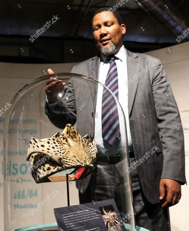 Stock Picture of The grandson of Nelson Mandela, Nkosi Zwelivelile Mandela ('Chief Mandela') shows a ceremonial leopard-skin headdress awarded to his grandfather and part of the exhibition MANDELA: THE OFFICIAL EXHIBITION in Berlin, Germany, 18 October 2019. The exposition is a new global touring exhibition that shows Mandela's life from his struggles as a freedom fighter to that of a political leader.