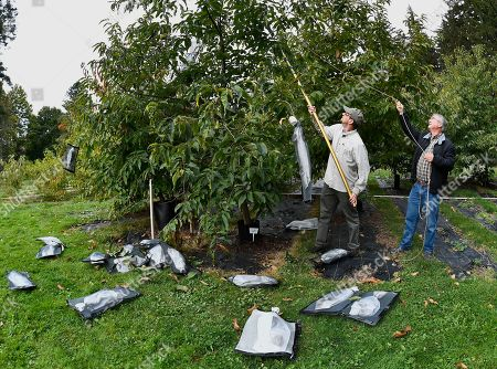 """Andy Newhouse, left, and William Powell harvest genetically modified chestnut samples at the State University of New York's College of Environmental Science & Forestry's Lafayette Road Experiment Station in Syracuse, N.Y., . """"We have this technology, it's a very powerful technology, and we can use that now to save a species,"""" said Professor Powell, a molecular plant biologist who directs the American Chestnut Research and Restoration Project at the college"""