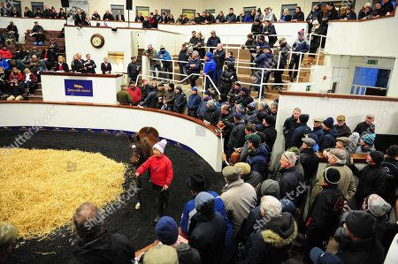 TATTERSALLS. November National Hunt Sale Day 3. A packed arena as Lot 560 Camelot x Monte Solaro from Coole House Farm led by groom Annie O'Rourke, sold to Kevin Doyle for ?155,000.