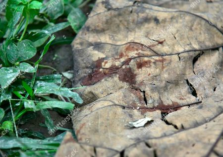 Blood spot of a victim on a leaf, as an elephant named after Osama bin Laden has trampled five people to death, at Matia village, in Goalpara district of Assam in India