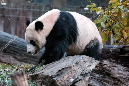Giant panda Bei Bei eats bamboo at the David M. Rubenstein Family Giant Panda Habitat of the Smithsonian National Zoological Park before heading back to China, in Washington