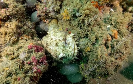 "An oyster toadfish peeks through formations at Gray's Reef National Marine Sanctuary, off the coast of Savannah, Ga. The sanctuary is named after Milton ""Sam"" Gray, a biologist who studied it in the 1960s and identified it as an ecosystem worth saving _ a reef not far from the U.S. coast that teemed with life, especially an ""abundance of diversity of invertebrates,"" says Kimberly Roberson, research coordinator for Gray's Reef National Marine Sanctuary"