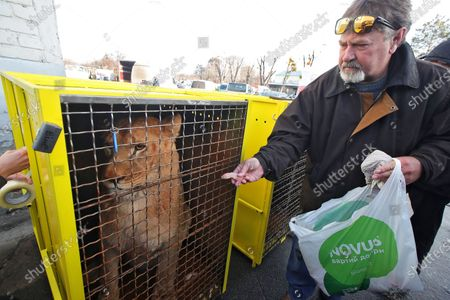 Representative of Lawrence Anthony Earth Organization Mark Watson feeds the lion prior to it's dispatch from the Boryspil Airport to the Love Lions Alive sanctuary in South Africa
