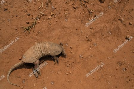 A dead armadillo lies on a dirt road in Campo Verde, near Itaituba, Para state Brazil. The clock is ticking. Already the Amazon is growing warmer and drier, losing its capacity to recycle water, and may become savannah in 15 to 30 years, said Carlos Nobre, a climate scientist at the University of Sao Paulo
