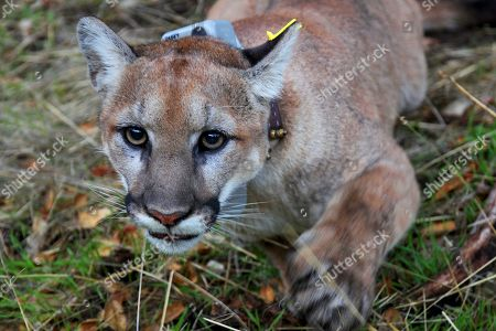 This photo provided by the U.S. National Park Service shows a mountain lion, newly dubbed P-79 with a new tracking collar, following its capture in a Simi Valley, Calif., neighborhood early . Officials said it wasn't the big cat that killed a resident's dog and injured another pet last week in the same suburb. The male lion was tranquilized and outfitted with a tracking collar that scientists will use to study the animal as part of an ongoing research project on the big cats, National Park Service spokeswoman Ana Beatriz Cholo said