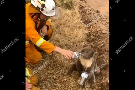 In this image made from video taken, and provided by Oakbank Balhannah CFS, a koala drinks water from a bottle given by a firefighter in Cudlee Creek, South Australia. Around 200 wildfires were burning in four states, with New South Wales accounting for more than half of them, including 60 fires not contained