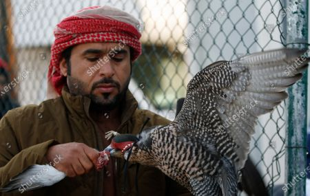 A man feeds his gyrfalcon during the Fazza Championship for Falconry in Dubai, United Arab Emirates (UAE), 30 December 2019. The Fazza Championship for Falconry is sponsored by Dubai's Crown Prince Sheikh Hamdan bin Mohammed bin Rashid Al Maktoum. Falconry, locally known as 'kanas' is an integral part of the heritage of the UAE. The falconry tournaments run until the end of March 2020.
