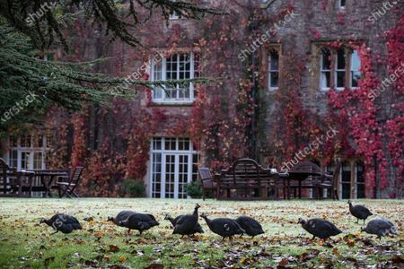 Peacocks on the front lawn of the estate belonging to Sir Benjamin Slade (72) Millionaire aristocrat and Brexiteer on his 2,000-acre Maunsel House estate, North Newton