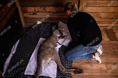 Sara Tilling takes care of a young injured Kangaroo which she and her partner Gary Henderson are nursing back to health in Cobargo, Australia, 16 January 2020. Henderson and Tilling used to run the Cobargo Wildlife Sanctuary from their home, which was lost in a bushfire along with all their animals, and have only been able to rescue one kangaroo. Bushfires swept through Cobargo on New Year's Eve 2019 killing two and destroying several homes and businesses.