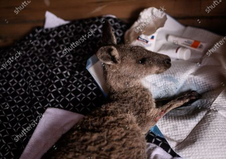 Sara Tilling (not pictured) takes care of a young injured Kangaroo which she and her partner Gary Henderson are nursing back to health in Cobargo, Australia, 16 January 2020. Henderson and Tilling used to run the Cobargo Wildlife Sanctuary from their home, which was lost in a bushfire along with all their animals, and have only been able to rescue one kangaroo. Bushfires swept through Cobargo on New Year's Eve 2019 killing two and destroying several homes and businesses.