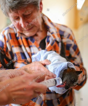 Stock Image of WIRES Mid-South Coast Bat Coordinator Janet Jones feeds a rescued Grey-Headed Flying-Fox at her property in Tuross Head, South of Sydney, Australia, 14 January 2020 (Issued 16 January 2020).
