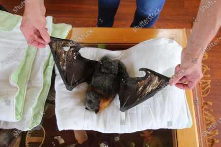 WIRES Mid-South Coast Bat Coordinator Janet Jones inspects the wings of a dead Grey-Headed Flying-Fox that have been damaged by bushfire embers at her home in Tuross Head, South of Sydney, Australia, 14 January 2020 (Issued 16 January 2020).