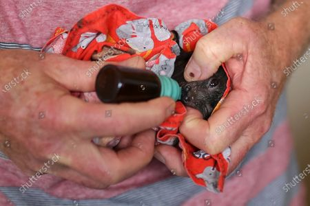 An orphaned Flying-Fox is fed at the property of WIRES Mid-South Coast Bat Coordinator Janet Jones in Tuross Head, South of Sydney, Australia, 14 January 2020 (Issued 16 January 2020).