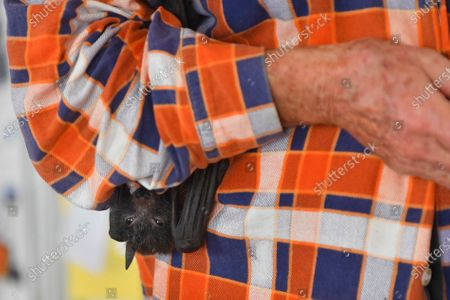 WIRES Mid-South Coast Bat Coordinator Janet Jones holds an orphaned juvenile Grey-Headed Flying-Fox at her property in Tuross Head, South of Sydney, Australia, 14 January 2020 (Issued 16 January 2020).