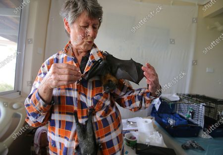WIRES Mid-South Coast Bat Coordinator Janet Jones with two orphaned juvenile Grey-Headed Flying-Foxes hanging from her shirt at her home in Tuross Head, South of Sydney, Australia, 14 January 2020 (Issued 16 January 2020).