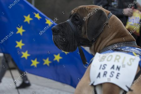 Sheldon, the Indydug, a 4-and-half-year-old Great Dane, wears an anti-Boris Johnson sign.