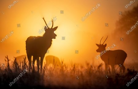 The sun rises behind a young stag deer on a misty morning in Bushy Park, south west London. After a period of clear and cold days, rain and wind are forecast for the next few days as the UK feels the effects of Storm Ciara.