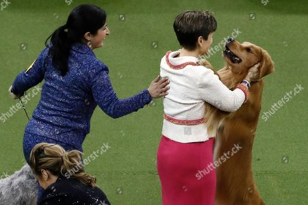 Editorial picture of Westminster Dog Show, New York, USA - 11 Feb 2020