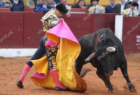 Stock Photo of Spanish bullfighter Jose Maria Manzanares fights with his first bull during the 'Feria Taurina de Olivenza' bullfighting held in Badajoz, Spain, 08 March 2020.