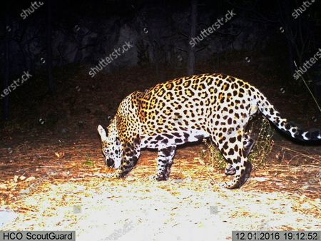 Editorial picture of Jaguars Habitat Fight, Fort Huachuca, United States - 01 Dec 2016