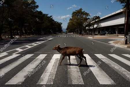 Stock Picture of A deer walks across a pedestrian crossing in Nara, Japan, Thursday, March 19, 2020. More than 1,000 deer roam free in the ancient capital city of Japan. Despite the town's tourism decline, these wild animals are doing just fine without treats from tourists, according to a deer protection group. (AP Photo/Jae C. Hong)